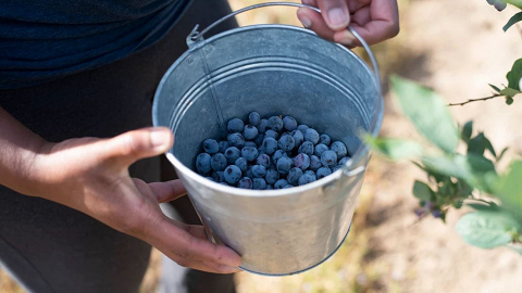 LoCA Farm Blueberries