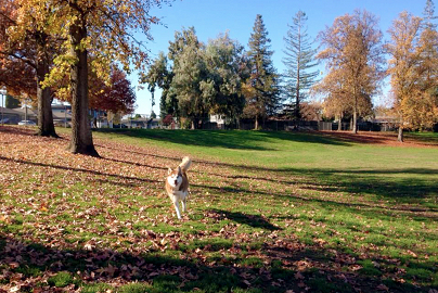 Dog running toward the camera in a dog-friendly Lodi park.